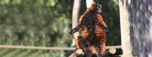 Zoo Lagos Affe