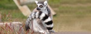 Zoo Lagos Lemur