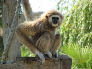 Lagos, Zoo, White-Handed Gibbon von Glen Bowman